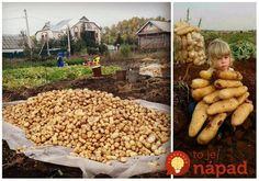 Aj keď mám na záhrade len pár riadkov zemiakov, vždy sa mi ich urodí toľko, že ich nemusím kupovať celé mesiace. Zemiaky sú silné, plody veľké a úroda je skutočne výborná. Všetko je to o sadení zemiakov, presnejšie o tom, aké zemiaky vložíte do zeme. Ak chcete, aby boli silnejšie, ako kedykoľvek predtým, urobte to... Garden Inspiration, Vegetable Garden, Gardening Tips, Dog Food Recipes, How To Make Money, Stuffed Mushrooms, Beans, Pergola, Fruit