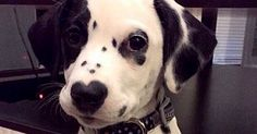 35 Reasons You Need A Dalmatian In Your Life Right Now ! I don't need 35 reasons to want a dalmatian, but I agree with them all! Ugly Animals, Cute Animals, Unique Animals, Pet Shop, Spotty Dog, Cheap Pet Insurance, Life Insurance, Rare Dogs, Cutest Puppy Ever