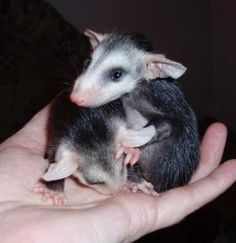 Orphaned siblings found inside their dead mother's pouch.   If you find a dead opossum check it's pouch for babies.