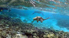 Una tortuga en la Gran Barrera de Coral. (Reuters) - Externa