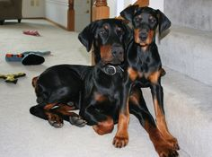 puppy puppy dobermans