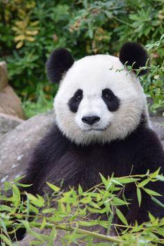 marie-evelyne Lacolomberie - Google+. Gros plan sur Monsieur Panda de Chine qui semble sourir au parc animalier de Beauval à Saint-Aignan.