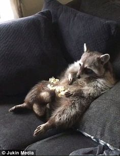 In a cute video posted on November a chubby raccoon can be seen eating popcorn off its belly and watching TV in Homer Glen, IL Rocky Raccoon, Pet Raccoon, Cute Funny Animals, Funny Animal Pictures, Funny Raccoons, Animals And Pets, Baby Animals, Strange Animals, Cartoons