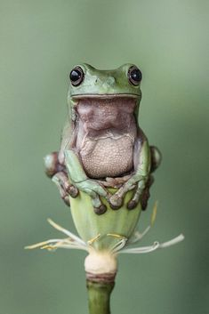 when real frogs, like this one are hiding, you can still see frogs by adding frog statues to your garden.