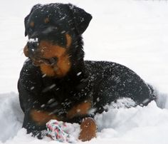 #Rottweiler in the snow