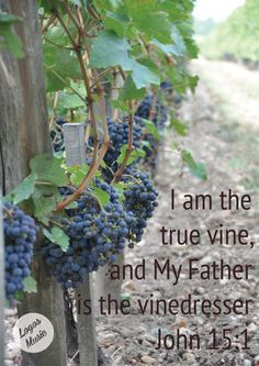 I am the True Vine ... JOHN 15:1 Jesus is the True Vine.  Christian faith Bible verse.  Spiritual growth and inspiration scripture.  ... and my Father is the Vinedresser.