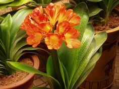 Clivia, perfecta para interiores. Se caracteriza por sus hojas gruesas, planas y trenzadas de color verde, y unas grandes flores anaranjadas. Estas crecen normalmente en febrero y marzo y requieren un período de dos meses de frío previos a su floración.