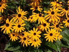 New at Westport Winery: Rudbeckia fulgida 'Goldsturm' (Black-eyed Susan). Large golden yellow blooms with a velvety brown center. Long lasting flowers through summer and autumn. Drought tolerant. Full sun. Ht. 2ft. Zone 3. Deer resistant and butterfly happy.