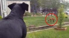 Fox plays with toy that was left outside by a dog. Watch to see what happens next