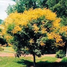 selecting the right tree for your Mid-Atlantic garden! (Hardy Plant Society - by Liz Ball and Rick Ray) Deciduous Trees, Trees And Shrubs, Trees To Plant, Golden Rain Tree, Shade Trees, Hardy Plants, Japanese Maple, Prince Edward Island, Before Us