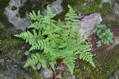 Woodsia obtusa - Bluntlobe Cliff Fern Ferns, Cliff, Future, Garden, Plants, Garten, Future Tense, Lawn And Garden, Fern