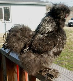 20 Amazing Rare Chicken Breeds With Special Characteristics - The Poultry Guide Bantam Chickens, Chickens And Roosters, Pet Chickens, Raising Chickens, Fancy Chickens, Types Of Chickens, Chickens Backyard, Tortoise As Pets, Falling Waters