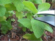 como-cortar-las-hierbas-aromaticas-02