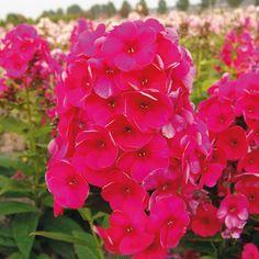 Pflanzen-Kölle Flammenblume rot, 11 cm Topf.  Die Flammenblume 'Adessa® Red' garantiert langanhaltenden Blütenreichtum in leuchtendem Rot für Beete und Rabatten.