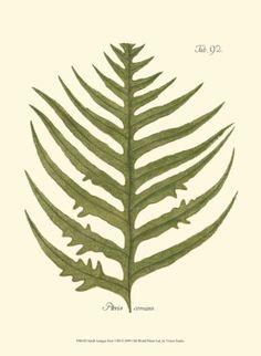size: Art Print: Small Antique Fern VIII by Vision Studio : Entertainment Vintage Botanical Prints, Botanical Drawings, Botanical Art, Botanical Illustration, Illustration Art, Nature Illustrations, Illustration Botanique, Nature Prints, Graphic