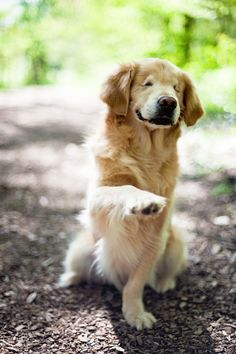 Smiley the Golden Retriever. Brought tears to my eyes. What a precious dog and a beautiful story. Born without eyes and with other birth defects...