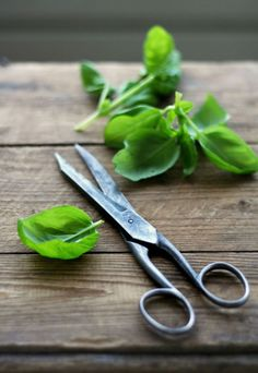 Basil (don't you cut it with the scissors though!)