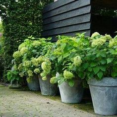 galvanized planters with hydrangeas