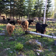 Highland Cattle Cow Yesterday seven of our young girls got new home at @highlandjouhteninen  #highlandcattle #highlandcow #cow #cows #cattle #cowsofinstagram #牛 #be_one_rural #country_features #farmlife #countrylife #Farm #countryside #rural #lehmä #countrylifestyle1 #leppävirta #ylämaankarja #ig_countryside #animalsofinstagram #pocket_farms #lifeonthefarm #farmanimals #vasikka #calf #calves #cute #cuteanimals #animalphotography