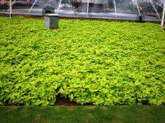 TANAMAN HIAS|KOLAM MINIMALIS|SAUNG|PAGAR BETON tanaman ubi kuning
