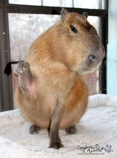 Exotic Pets: Capybaras ('Giant Hamsters') Aren't for Everyone