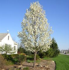 Cleveland Select Ornamental Pear Pot Bulk Buy of 10 - Hello Hello Plants & Garden Supplies Ornamental Pear Tree, Flowering Pear Tree, Pear Trees, Fruit Trees, Deciduous Trees, Trees And Shrubs, Snow Pear, Spring Blooming Trees, Spring Flowers