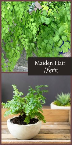 The maidenhair fern is a great choice for indoor gardening. The most interesting fact is its ability to bounce back from the dead., making it a hard to kill houseplant.