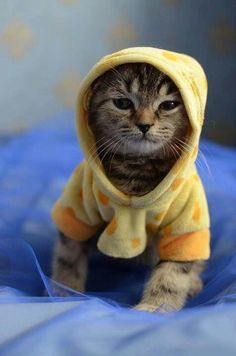 Cats in Hoodies Might Be The Cutest Thing Ever - World's largest collection of cat memes and other animals I Love Cats, Crazy Cats, Cute Cats, Funny Cats, Baby Animals, Funny Animals, Cute Animals, Kittens Cutest, Cats And Kittens
