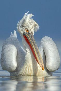 A rare white Pelican from Mobile Bay, Alabama, USA ~Beautiful Birds~ Tropical Birds, Colorful Birds, Pretty Birds, Beautiful Birds, Photo Animaliere, Rare Birds, Exotic Birds, Funny Birds, Big Bird