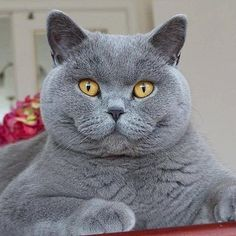 The blue colored cats are my favorites. Cute Cats And Kittens, Cool Cats, Kittens Cutest, Grey Cats, Blue Cats, British Blue Cat, Chartreux Cat, British Shorthair Kittens, Tier Fotos