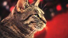 Collective Soul Cat