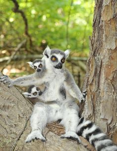 A cute lemur to make your day that much better!