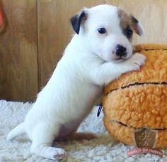 Jack Russell puppy - I can recall when Jackie-Oh was this little. They grow up so quick!