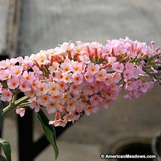Both fragrant and stunning, this Butterfly Bush produces peach blooms with silvery foliage. Great for attracting beautiful wildlife to the garden. PPAF (Buddleia)