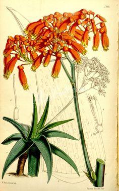 albo-cincta, White-margined Aloe - high resolution image from old book. Botanical Drawings, Botanical Illustration, Botanical Prints, Family Illustration, Plant Nursery, Aloe, Tulips, Pineapple, Exotic