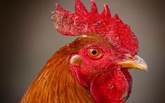 Скачать обои 156, петух, гребешок, глаз, клюв, птица, раздел животные в разрешении 1280x800