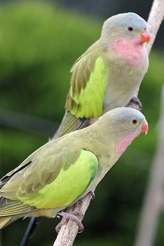 Princess Parrots pair (Polytelis alexandrae) Male on right with redder beak and female on left