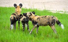 A little chin rub! #africa #safari #wild #dogs #botswana