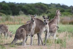 """These eastern gray kangaroos are just one of over 40 species of kangaroo-like animals, living in Australia's savannas—better known as """"the b..."""