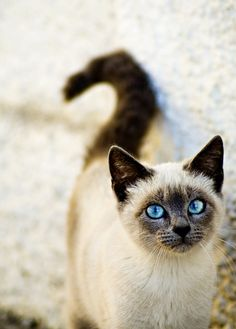 Siamese cat: I have two already but if I get a cat later after they are gone then I still want a siamese <3