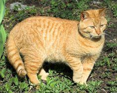 The Tabby Cat - Cat Breeds Encyclopedia