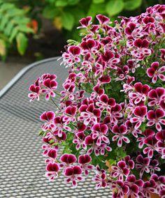 Géranium bicolore 'Mosquitaway Eva' - Plante Pelargonium (Angel Group) 'Mosquitaway Eva' Le Géranium 'Mosquitaway Eva' est une vraie merveille sur la terrasse ou le balcon. Il est très florifère et vous apprécierez son parfum de citronnelle qui éloigne les moustiques. Moins cher chez http://www.jardinexpress.fr/1887/geranium-mosquitaway-en-collection.html :)