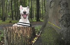 """hey, there"" #english #bullterrier"