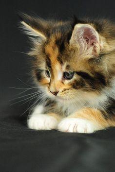 darling kitten.