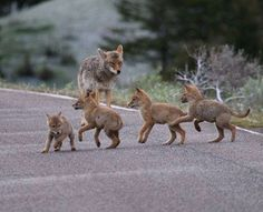 Mother coyote with her pups (via Adela Juricic)