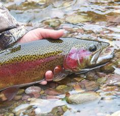 Living A True Trout Life Photo by Ryan Kelly