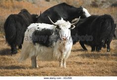 Find the perfect white yak hair stock photo. Huge collection, amazing choice, million high quality, affordable RF and RM images. Animal Alphabet, Stock Photos, Amp, Animals, Animales, Animaux, Animal, Animais