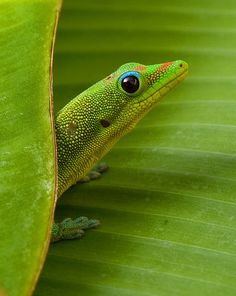 Gecko or Anole Lizard on Banana Leaf by Charlie Van Tassel