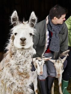 The Fabulous Beekman Boys TV Show ~ Polka Spot's Beauty Shot! ~The farm's goat-herding diva Ilama, mugs for the camera while Ridge wrangles two goats for another day of work.