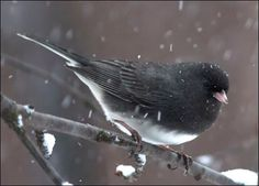 Dark Eyes Junco's are so beautiful. They migrate to my area...Rural Hall, NC in about November...They disappear in April as the Hummers migrate in...
